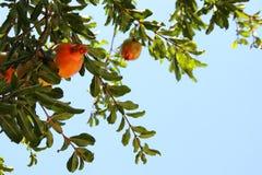 Δέντρο ροδιών εβραϊκό νέο υπόβαθρο διακοπών έτους Στοκ φωτογραφίες με δικαίωμα ελεύθερης χρήσης
