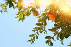 Δέντρο ροδιών εβραϊκό νέο υπόβαθρο διακοπών έτους Στοκ Εικόνα