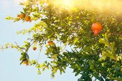 Δέντρο ροδιών εβραϊκό νέο υπόβαθρο διακοπών έτους Στοκ Φωτογραφία