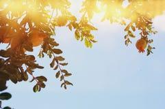 Δέντρο ροδιών εβραϊκό νέο υπόβαθρο διακοπών έτους Στοκ Φωτογραφίες