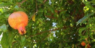 Δέντρο ροδιών εβραϊκό νέο υπόβαθρο διακοπών έτους Στοκ Εικόνες