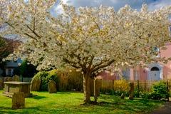 Δέντρο σίκαλη-κερασιών στοκ εικόνες με δικαίωμα ελεύθερης χρήσης
