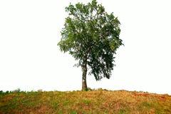 Δέντρο σε ένα άσπρο υπόβαθρο Στοκ Εικόνες