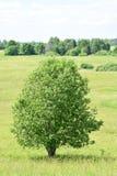 Δέντρο σε ένα λιβάδι Στοκ εικόνες με δικαίωμα ελεύθερης χρήσης