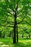Δέντρο σε πράσινο Στοκ Εικόνα