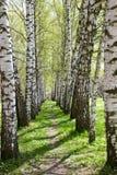 δέντρο σημύδων αλεών στοκ εικόνες με δικαίωμα ελεύθερης χρήσης