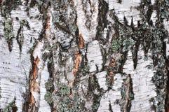 δέντρο σημύδων φλοιών Στοκ Εικόνα