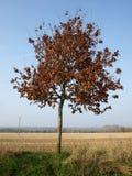 δέντρο σημύδων στοκ φωτογραφία με δικαίωμα ελεύθερης χρήσης