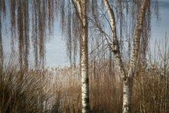 δέντρο σημύδων στοκ εικόνα με δικαίωμα ελεύθερης χρήσης