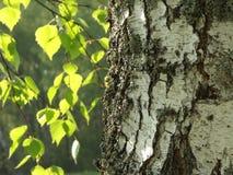 δέντρο σημύδων Στοκ Εικόνα