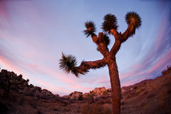 δέντρο σκιαγραφιών joshua Στοκ Εικόνες
