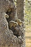 δέντρο σκιούρων οικογεν Στοκ Φωτογραφίες