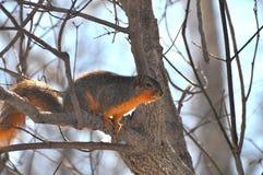 δέντρο σκιούρων στοκ φωτογραφία με δικαίωμα ελεύθερης χρήσης
