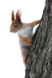 δέντρο σκιούρων Στοκ εικόνα με δικαίωμα ελεύθερης χρήσης