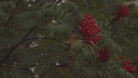 Δέντρο σορβιών φθινοπώρου στο ηλιοβασίλεμα φιλμ μικρού μήκους