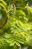 δέντρο σπόρων φύλλων caesalpiniaceae Στοκ εικόνα με δικαίωμα ελεύθερης χρήσης