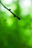 δέντρο σταγόνων βροχής κλά&del στοκ φωτογραφία με δικαίωμα ελεύθερης χρήσης