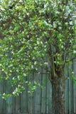 Δέντρο στα άσπρα λουλούδια στο υπόβαθρο ενός ξύλινου τοίχου Στοκ φωτογραφίες με δικαίωμα ελεύθερης χρήσης