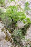 Δέντρο στην πέτρα Στοκ εικόνες με δικαίωμα ελεύθερης χρήσης