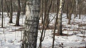 Δέντρο στη δασικός-σημύδα φιλμ μικρού μήκους