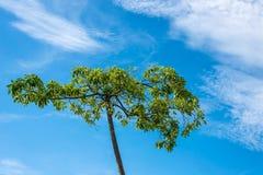 Δέντρο στον ουρανό στην Ταϊλάνδη Στοκ Φωτογραφία