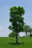Δέντρο στον πράσινο λόφο Στοκ φωτογραφίες με δικαίωμα ελεύθερης χρήσης