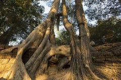 Δέντρο στον τοίχο πετρών του ναού Prasat TA Prohm σε Angkor Thom Στοκ φωτογραφία με δικαίωμα ελεύθερης χρήσης