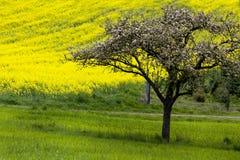 δέντρο στους τομείς συναπόσπορων την άνοιξη στη Γερμανία στοκ εικόνες με δικαίωμα ελεύθερης χρήσης