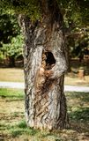 Δέντρο στο πάρκο με μια κοιλότητα στοκ φωτογραφίες