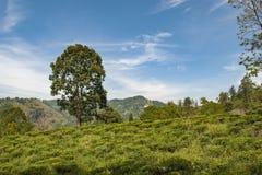 Δέντρο στο τοπίο της φυτείας trea κοντά στην αιχμή του μικρού Adam στη Σρι Λάνκα στοκ φωτογραφία με δικαίωμα ελεύθερης χρήσης