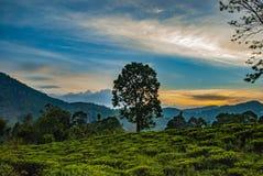 Δέντρο στο τοπίο της φυτείας trea κοντά στην αιχμή του μικρού Adam στη Σρι Λάνκα στοκ φωτογραφίες με δικαίωμα ελεύθερης χρήσης