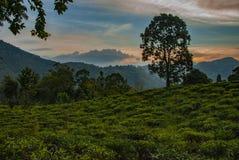 Δέντρο στο τοπίο της φυτείας trea κοντά στην αιχμή του μικρού Adam στη Σρι Λάνκα στοκ φωτογραφίες