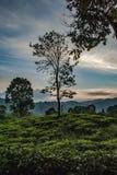 Δέντρο στο τοπίο της φυτείας trea κοντά στην αιχμή του μικρού Adam στη Σρι Λάνκα στοκ εικόνες