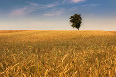 Δέντρο στο wheatfield Στοκ φωτογραφία με δικαίωμα ελεύθερης χρήσης