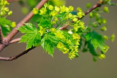 δέντρο σφενδάμνου ανθών στοκ εικόνα