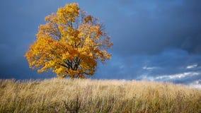 Δέντρο σφενδάμνου που παρουσιάζει τα χρώματα του φθινοπώρου πριν από τη βροχή