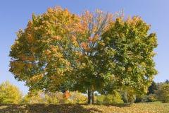 δέντρο σφενδάμνου πτώσης στοκ φωτογραφίες