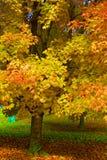 Δέντρο σφενδάμνου στάσεων έξω στο πάρκο στοκ εικόνα