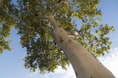 Δέντρο σφενδάμνου στο πάρκο Στοκ Φωτογραφία