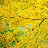 Δέντρο σφενδάμνου το φθινόπωρο στοκ εικόνες