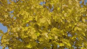 Δέντρο σφενδάμνου φθινοπώρου απόθεμα βίντεο