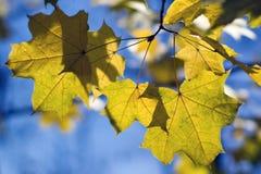 δέντρο σφενδάμνου φθινοπώ&r Στοκ φωτογραφίες με δικαίωμα ελεύθερης χρήσης