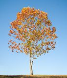 δέντρο σφενδάμνου φυλλώματος πτώσης Στοκ εικόνα με δικαίωμα ελεύθερης χρήσης