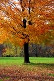 δέντρο σφενδάμνου Στοκ Φωτογραφία