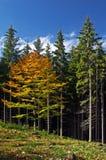 δέντρο σφενδάμνου Στοκ Εικόνες