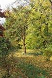 Δέντρο σφενδάμνου Paperbark ο βοτανικός κήπος του dendrological νομού Arad πάρκων Macea - Ρουμανία Στοκ φωτογραφία με δικαίωμα ελεύθερης χρήσης