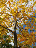 Δέντρο σφενδάμνου με το φύλλο στους ανέμους Στοκ Φωτογραφίες