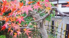 Δέντρο σφενδάμνου στην Ιαπωνία, εποχή φθινοπώρου στην Ιαπωνία Στοκ Φωτογραφία