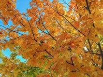 Δέντρο σφενδάμνου το φθινόπωρο, βόρειο Γιορκσάιρ Στοκ Εικόνες
