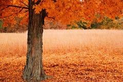 Δέντρο σφενδάμνου φθινοπώρου στοκ εικόνα